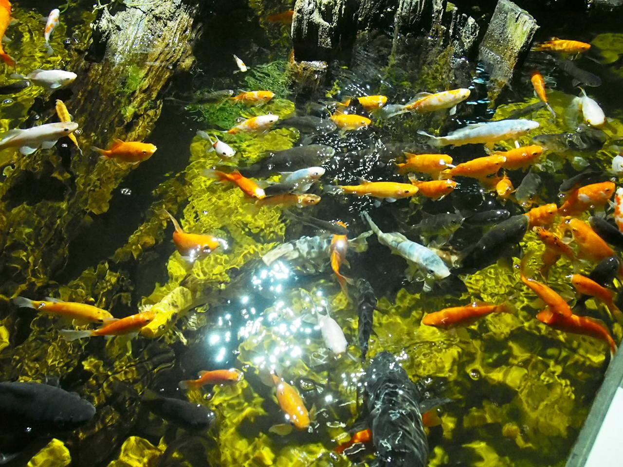 Karmienie rybek w akwarium