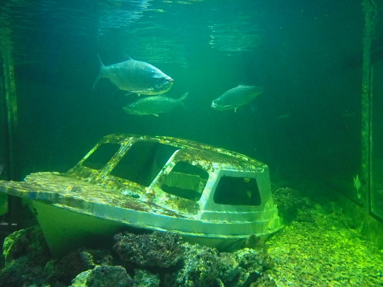 Trzy duże ryby na tle wraku statku