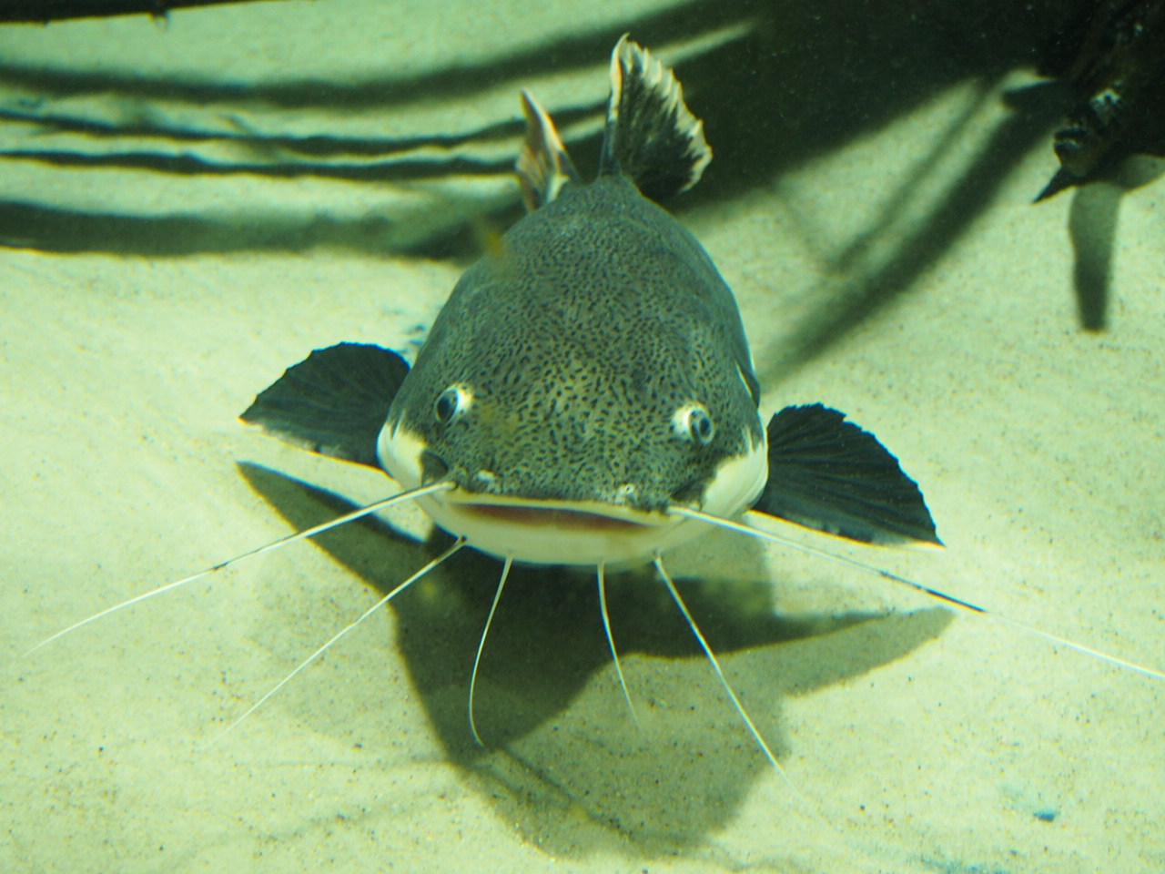 Jedna sumowata ryba w akwarium