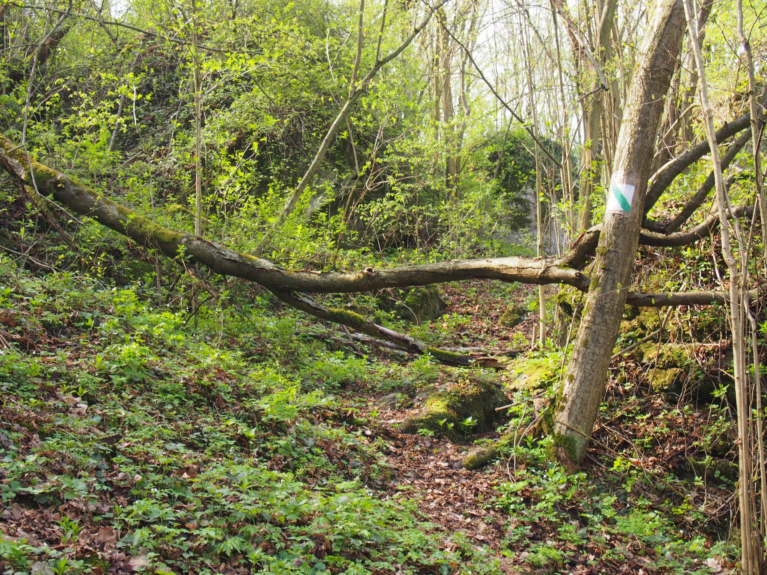 Bardzo zarośnięty szlak z powalonym drzewem