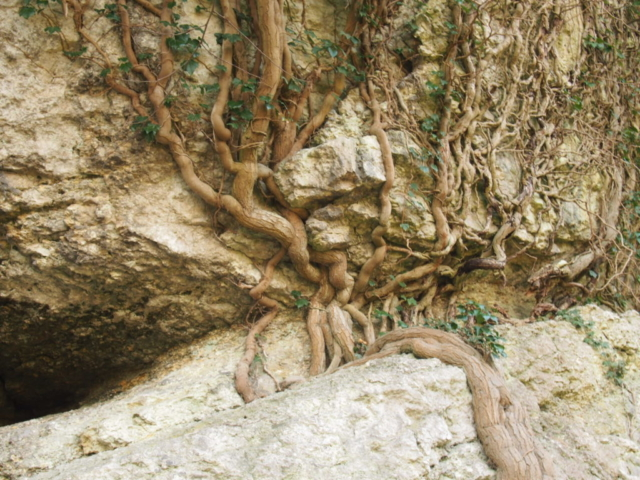 Bluszcz obrastający skały