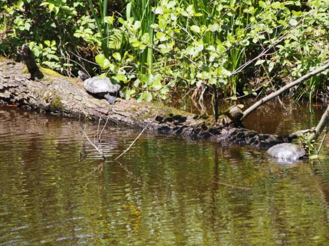 Żółwie błotne przy stawie