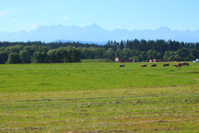 Panoram Tatr, na pierwszym planie łąką z krowami